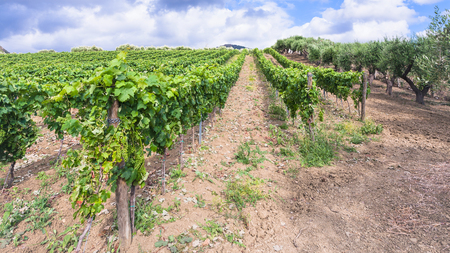 region sicilian: agricultural tourism in Italy - green vineyard and olive trees garden in Etna region in Sicily Stock Photo