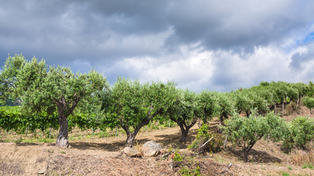 region sicilian: agricultural tourism in Italy - olive trees in garden in Etna region of Sicily