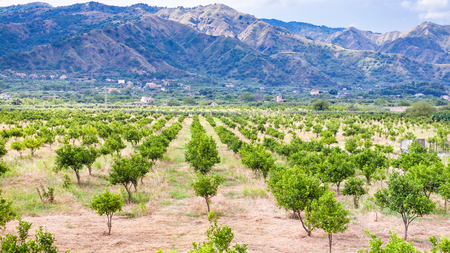 region sicilian: agricultural tourism in Italy - tangerine trees in garden in Alcantara region of Sicily