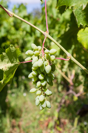 region sicilian: agricultural tourism in Italy - bunch of white grapes close up on vineyard in wine region Etna in Sicily Stock Photo