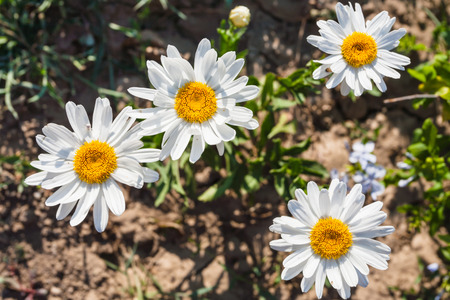 travel to Italy - Leucanthemum vulgare (ox-eye daisy, oxeye daisy) flowers in Sicily in summer