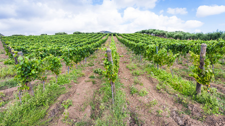 region sicilian: agricultural tourism in Italy - green vineyard and olive trees in Etna region in Sicily Stock Photo