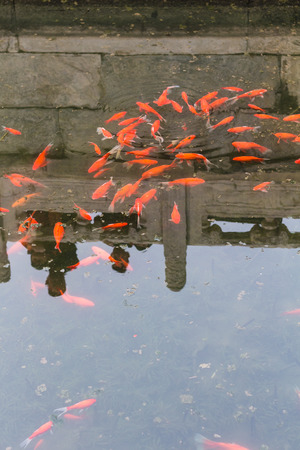 public aquarium: travel to China - gold fishes in pond in Working Peoples Cultural Palace (Imperial Ancestral Hall) public park in Beijing Imperial city in spring