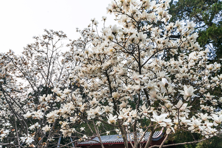 travel to China - white blossom on magnolia trees in Imperial Ancestral Hall public park in Beijing Imperial city in spring season