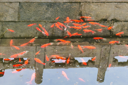 public aquarium: travel to China - many gold fishes in pond in Working Peoples Cultural Palace (Imperial Ancestral Hall) public park in Beijing Imperial city in spring Stock Photo