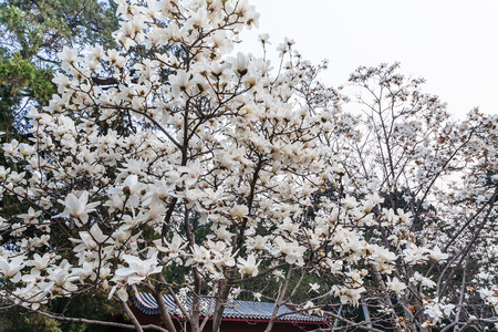 travel to China - white flowers on magnolia trees in Imperial Ancestral Hall public park in Beijing Imperial city in spring season Stock Photo