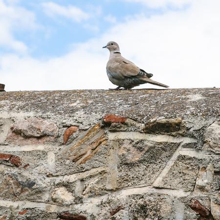travel to Greece - turtledove bird on old stone wall of patio in historical neighborhood Plaka near Acropolis of Athens city