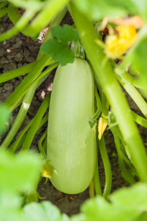ripe courgette in leaves in garden in summer season in Krasnodar region of Russia Stock Photo
