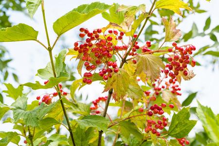 red fruits of Viburnum plant (Viburnum opulus, guelder- rose, kalyna) in summer season in Krasnodar region of Russia Stock fotó