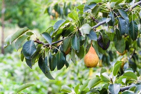 branch with ripe pear in garden in summer season in Krasnodar region of Russia