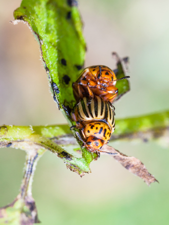 couple of colorado potato beetles on potato bush close up in garden in summer season
