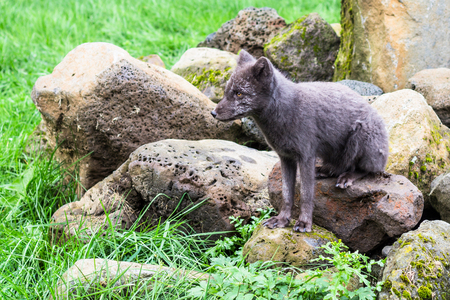 travel to Iceland - arctic fox in summer fur coloring in public park in laugardalur valley of Reykjavik city in september