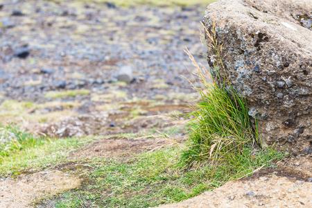 travel to Iceland - grass at lava field on Dyrholaey peninsula, near Vik I Myrdal village on Atlantic South Coast in Katla Geopark in september Stok Fotoğraf