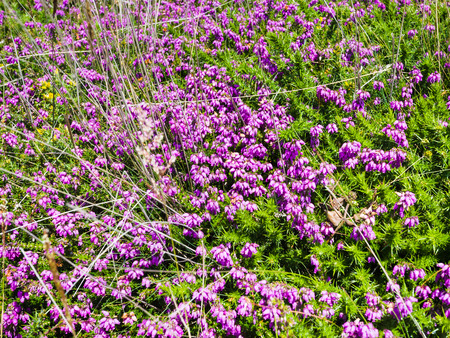 Heather flowers in Ploumanach site of Perros-Guirec commune on Pink Granite Coast of Cotes-dArmor department in the north of Brittany in sunny summer day Stock Photo