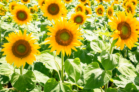 country landscape - yellow sunflowers on field in Val de Loire region of France in sunny summer day Stock Photo