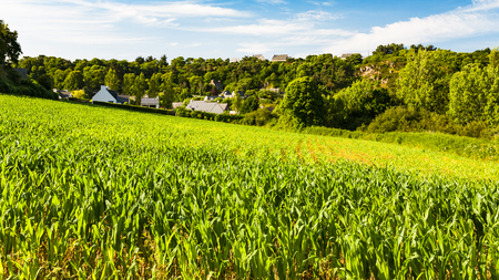 travel to France - corn field in Ploubazlanec commune of Paimpol region in Cotes-dArmor department of Brittany in summer sunny sunset