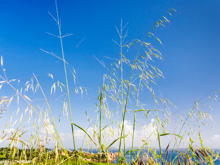 Meadow grass on coastline of English Channel in Saint-Guirec area of Perros-Guirec commune on Pink Granite Coast of Cotes-dArmor department in north of Brittany in summer morning Stock Photo