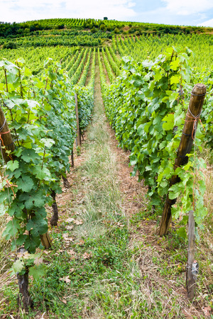 travel to France - green vineyard in region of Alsace Wine Route in summer day