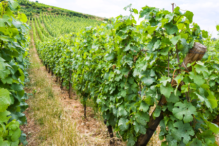 travel to France - vineyard in region of Alsace Wine Route in summer day Stock Photo