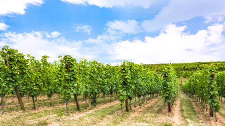 travel to France - blue sky over vineyard in region of Alsace Wine Route in summer day