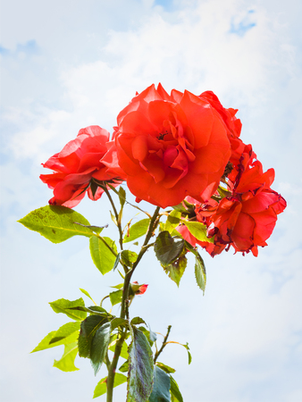 travel to France - rose flowers near vineyard in region of Alsace Wine Route and blue sky with white clouds on background Stock Photo