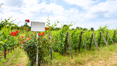 travel to France - white plate and roses bush near vineyard in region of Alsace Wine Route in summer day
