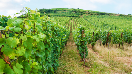 travel to France - vineyard beds on hill in region of Alsace Wine Route in summer day