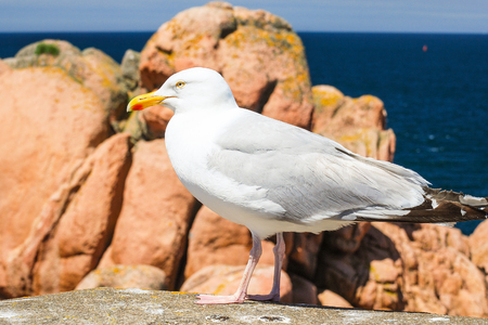 travel to France - seagull on boulder on rocky coast of Ile-de-Brehat island in Cotes-dArmor department of Brittany in summer sunny day