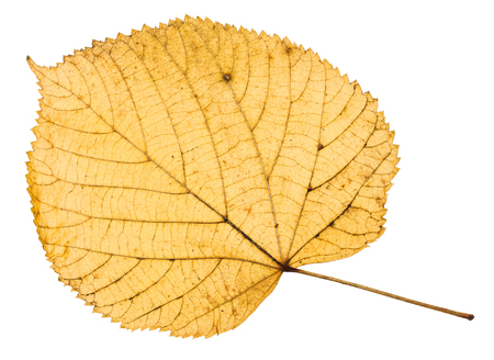 back side of yellow autumn leaf of linden tree isolated on white background