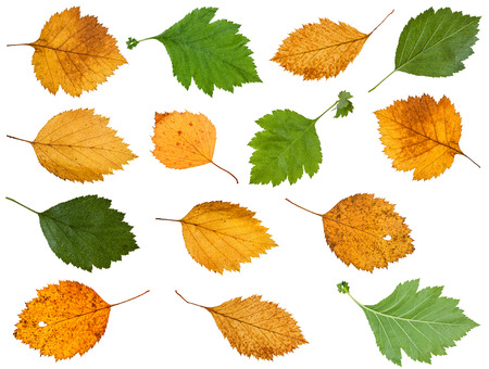 set of various leaves of hawthorn trees isolated on white background Stock Photo
