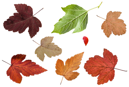 set of various leaves of viburnum trees isolated on white background Stock Photo