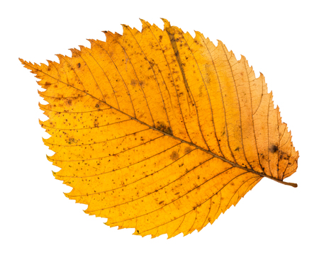 back side of yellow fallen leaf of elm tree isolated on white background Stock Photo