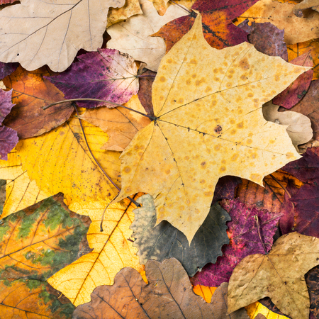 natural autumn background from pied fallen leaves of oak, maple, alder trees Stock Photo