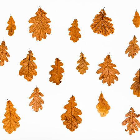 collage from common oak autumn leaves on white background