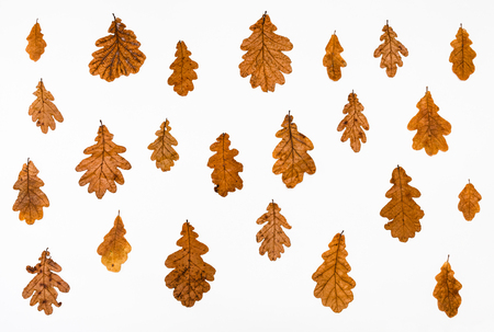 ornament from common oak autumn leaves on white background