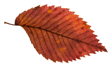 rotten dried red leaf of elm tree isolated on white background Stock Photo