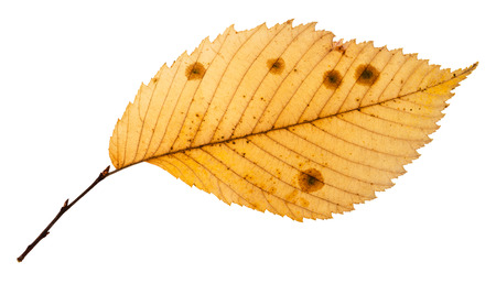 rotten autumn leaf of elm tree isolated on white background Stock Photo