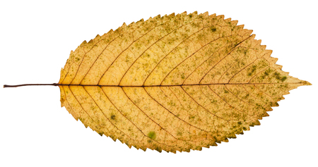 fallen yellow leaf of prunus tree isolated on white background