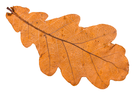 back side of autumn fallen leaf of oak tree isolated on white background