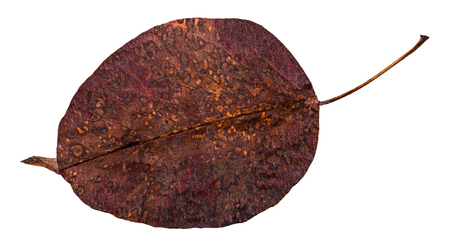 decayed dried leaf of pear tree isolated on white background