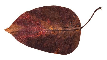dark red autumn leaf of apple tree isolated on white background
