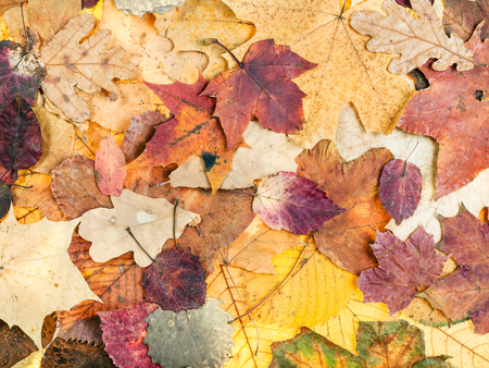 natural autumn background from various variegated leaves of oak, maple, alder, malus, aspen trees Stock Photo