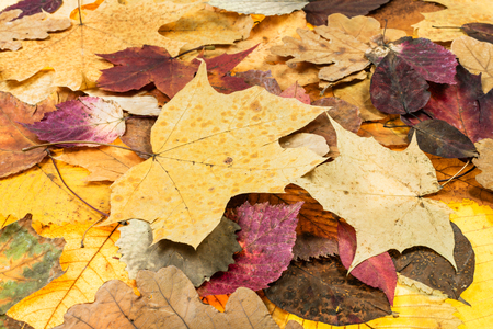 above view of various autumn fallen leaves of oak, maple, alder, malus trees