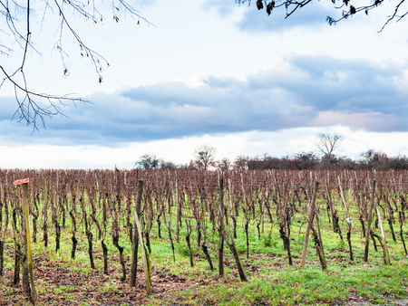 travel to France - bare vineyard in Bollenberg Domain in Thann-Guebwiller arrondissement of Alsace county in the Haut-Rhin department in the Grand Est region of France in winter evening Stock Photo