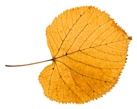 dried autumn leaf of linden tree isolated on white background