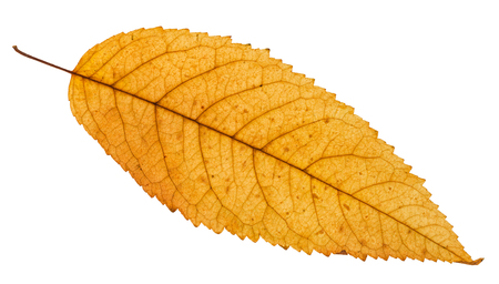 fallen yellow leaf of ash tree isolated on white background
