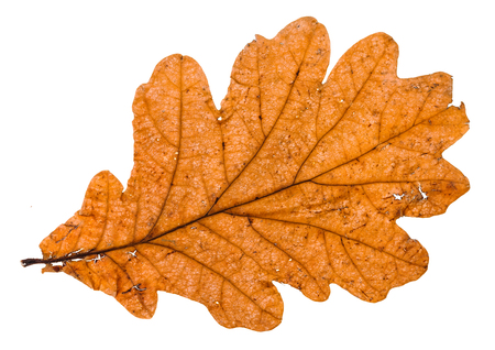 autumn broken leaf of oak tree isolated on white background