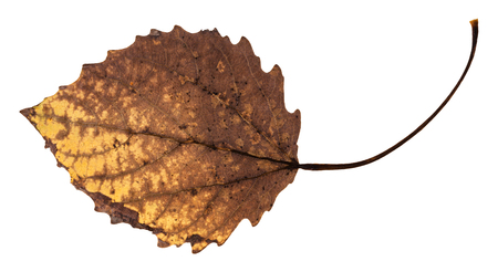 back side of decayed dried leaf of aspen tree isolated on white background Stock Photo