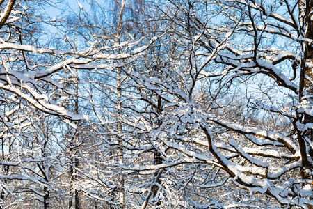 many snow-covered branches in forest of Timiryazevskiy park of Moscow city in sunny winter day