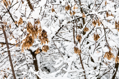 snow-covered maple seeds on branch in snowy forest of Timiryazevskiy park of Moscow city in overcast winter day